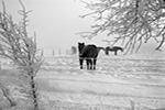 Horse in Frost